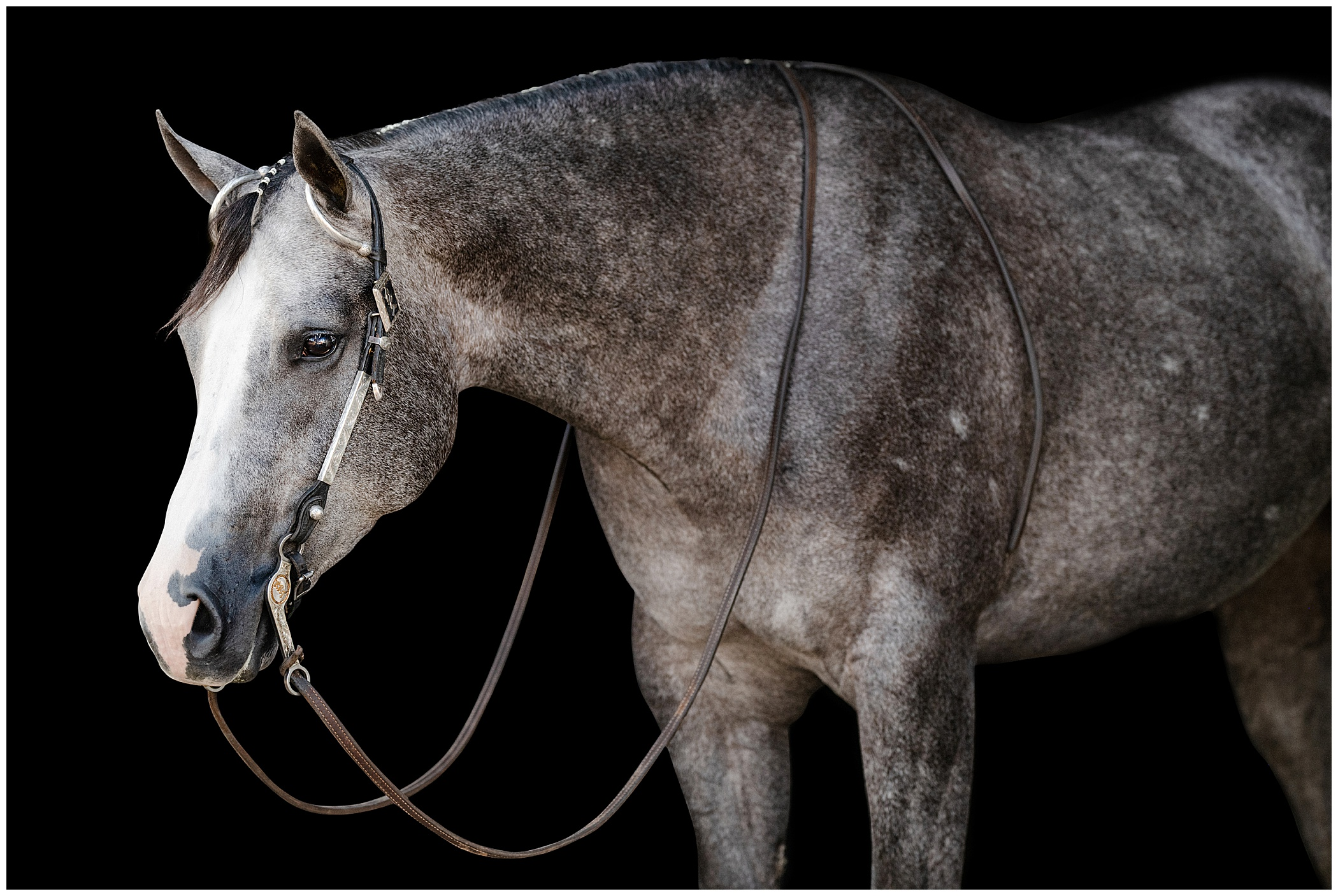 Gray horse on a black background in a western bridle